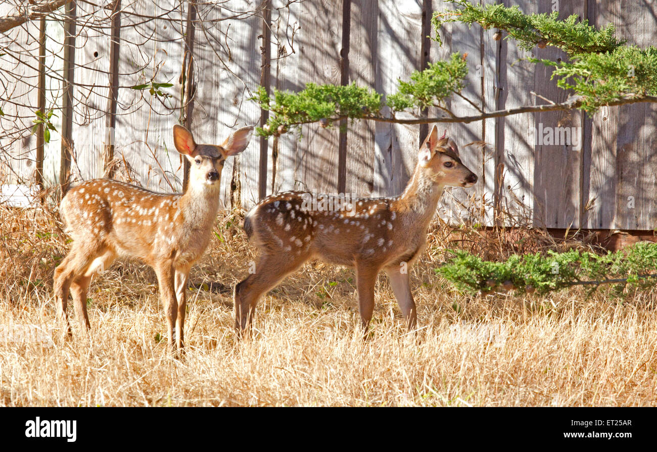 Black-tailed Deer Fawns - Stock Image