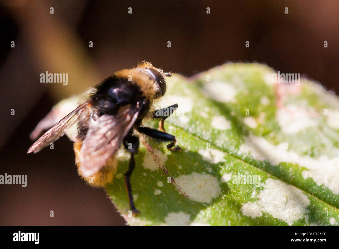 Back in the garden for #30DaysWild day 7, found this fly that looks like a bumble bee. Stock Photo