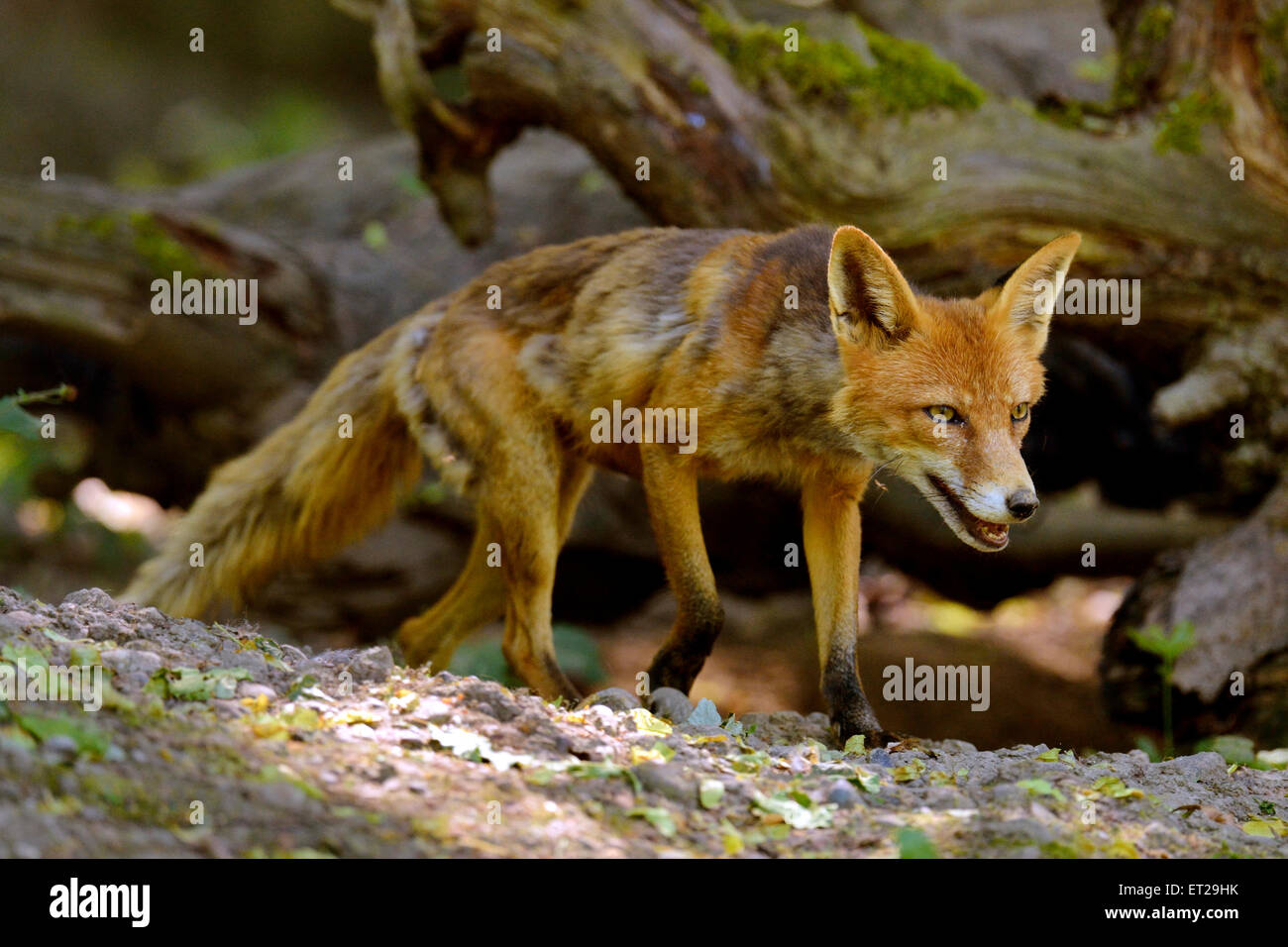 Adult Red Fox (Vulpes vulpes) wandering through the woods, Canton of Basel, Switzerland - Stock Image