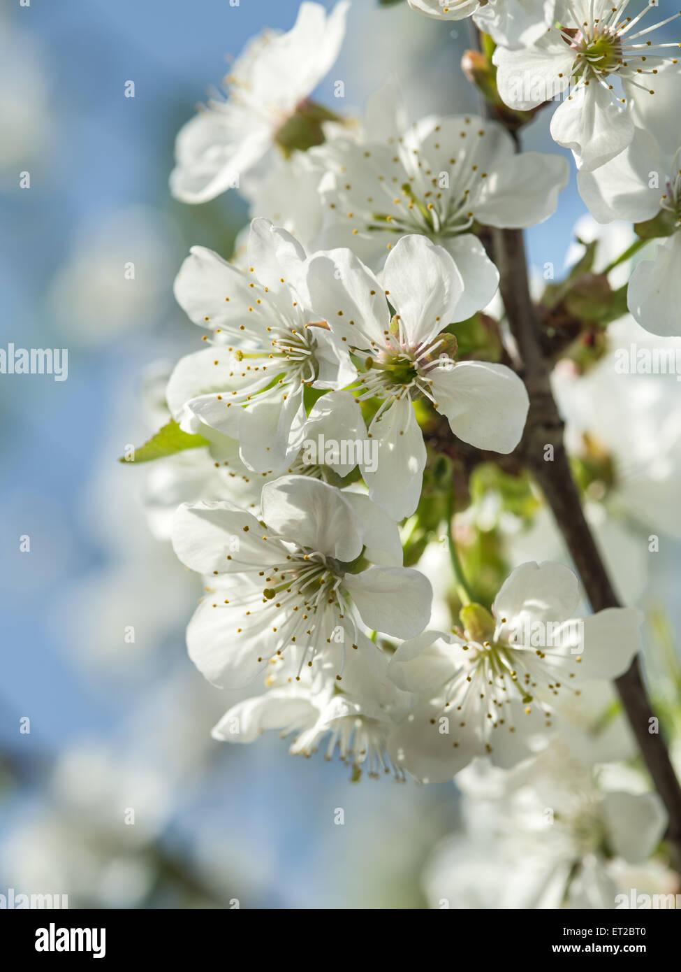 Blooming apple tree twig. Closeup shot. - Stock Image