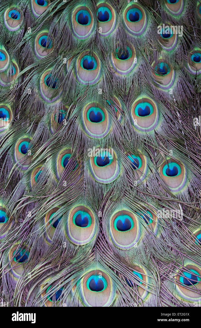 Pavo cristatus. Peacock feathers Stock Photo