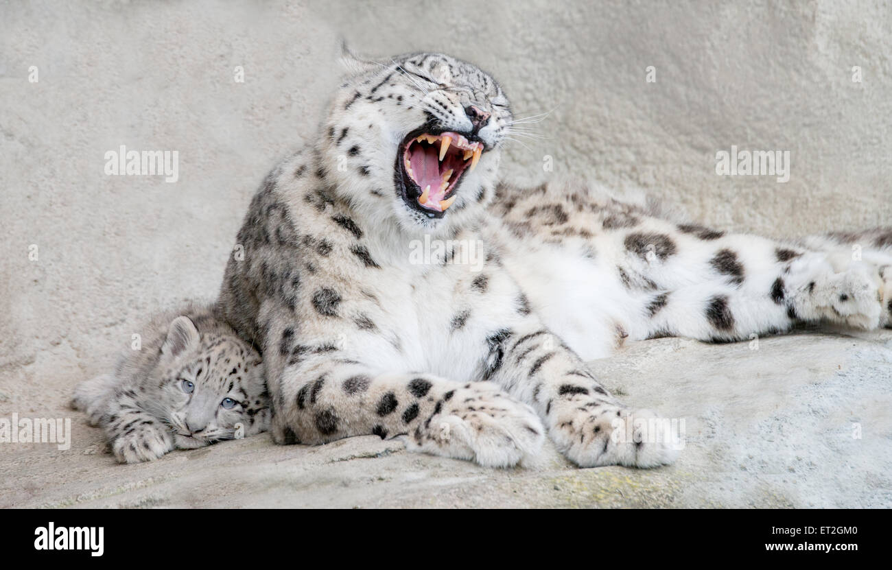 Snow leopard mother protecting her cub - Stock Image