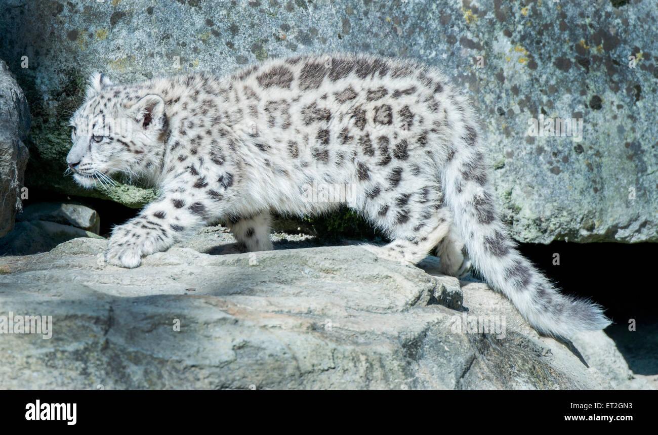 Snow leopard cub treading on velvety paws - Stock Image