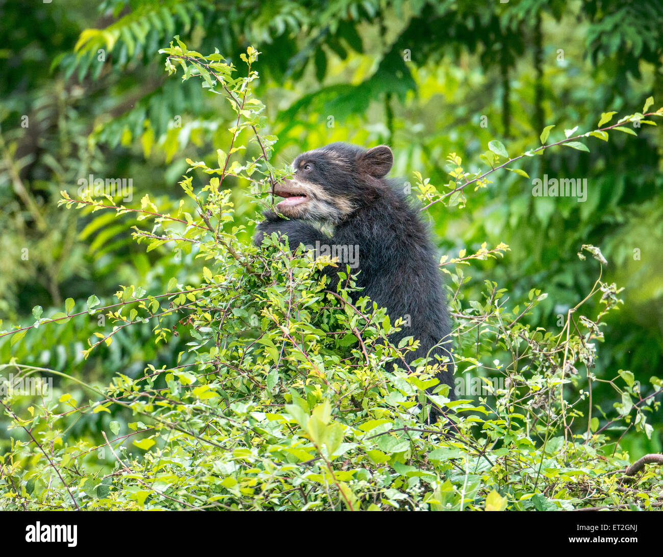 Spectacled bear cub in treetop - Stock Image
