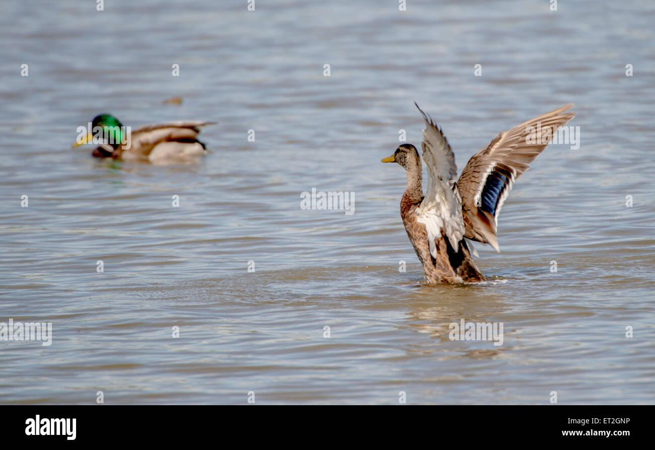Female mallard duck fluttering with wings - Stock Image