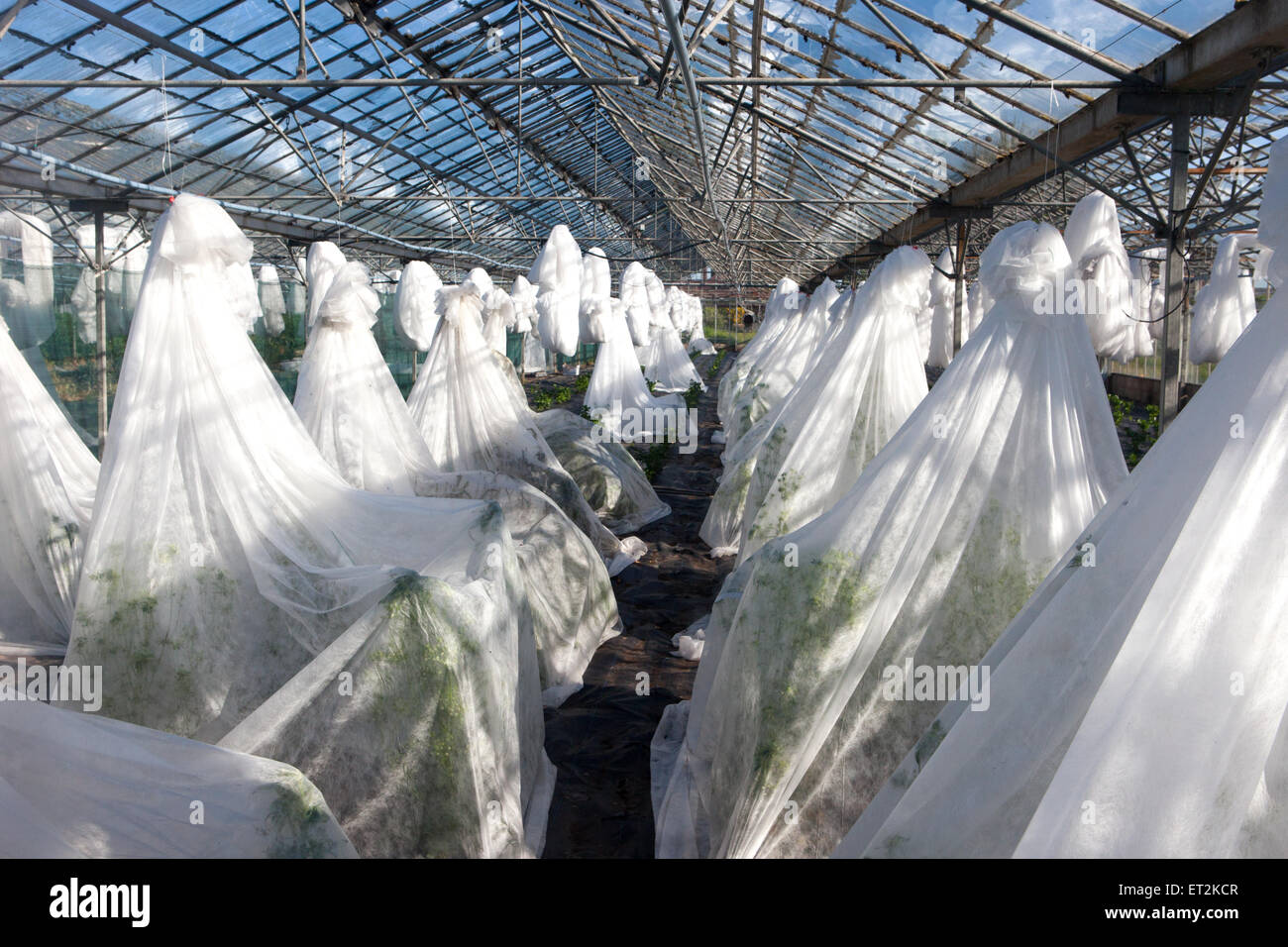 Growers shroud-like horticultural fleece covering tender plants inside Greenhouse, in Tarleton, Southport, West - Stock Image