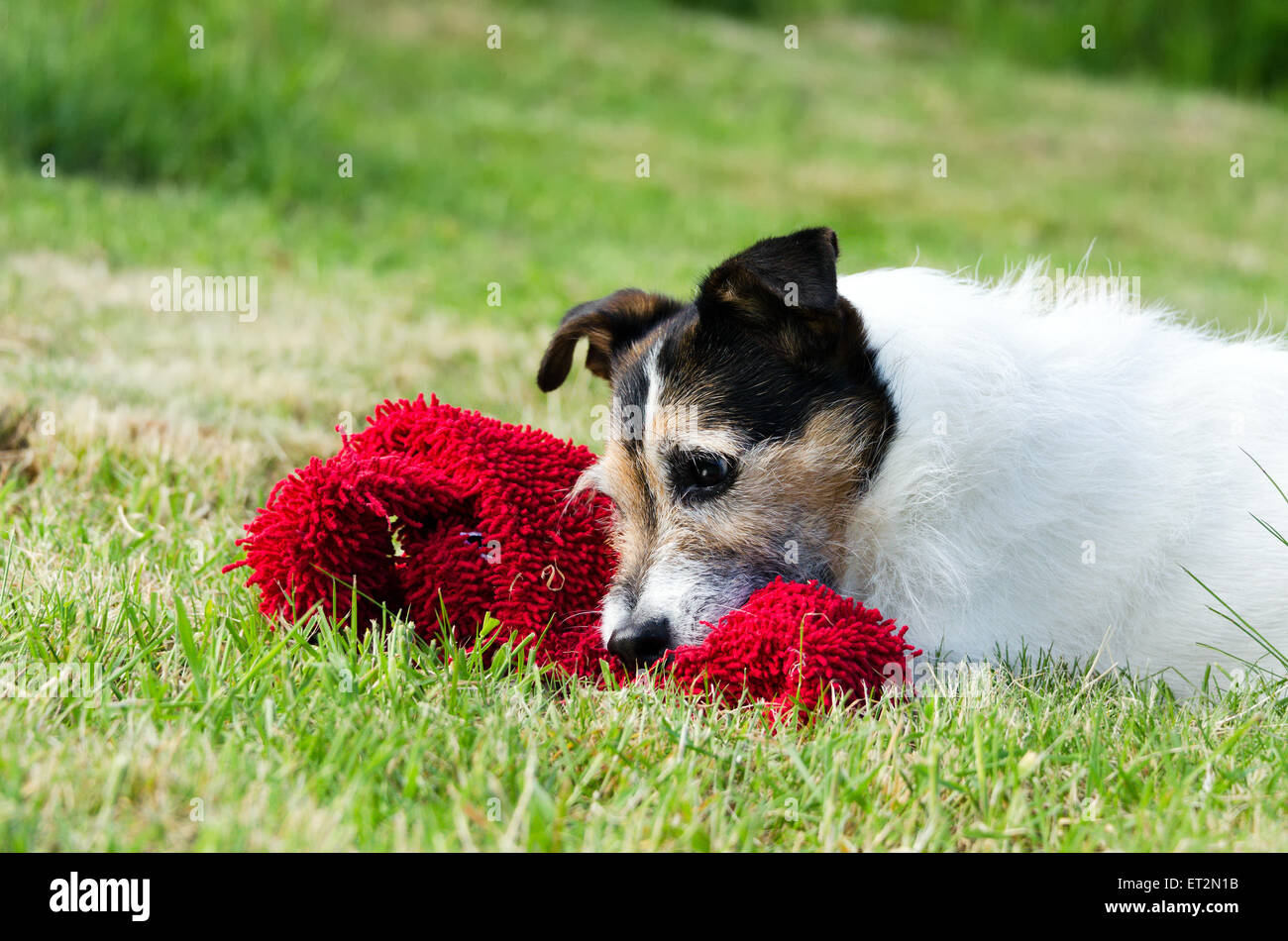 Adorable Jack Russell Terrier laying in grass with red soft toy - Stock Image