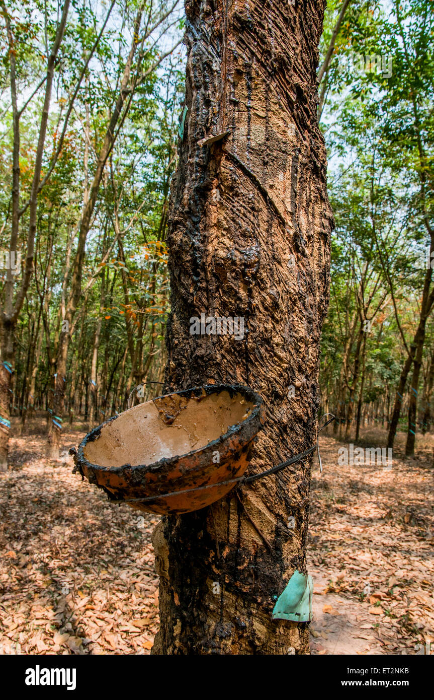 Tapping sap from Rubber trees in a Plantation, Central Highlands Vietnam - Stock Image