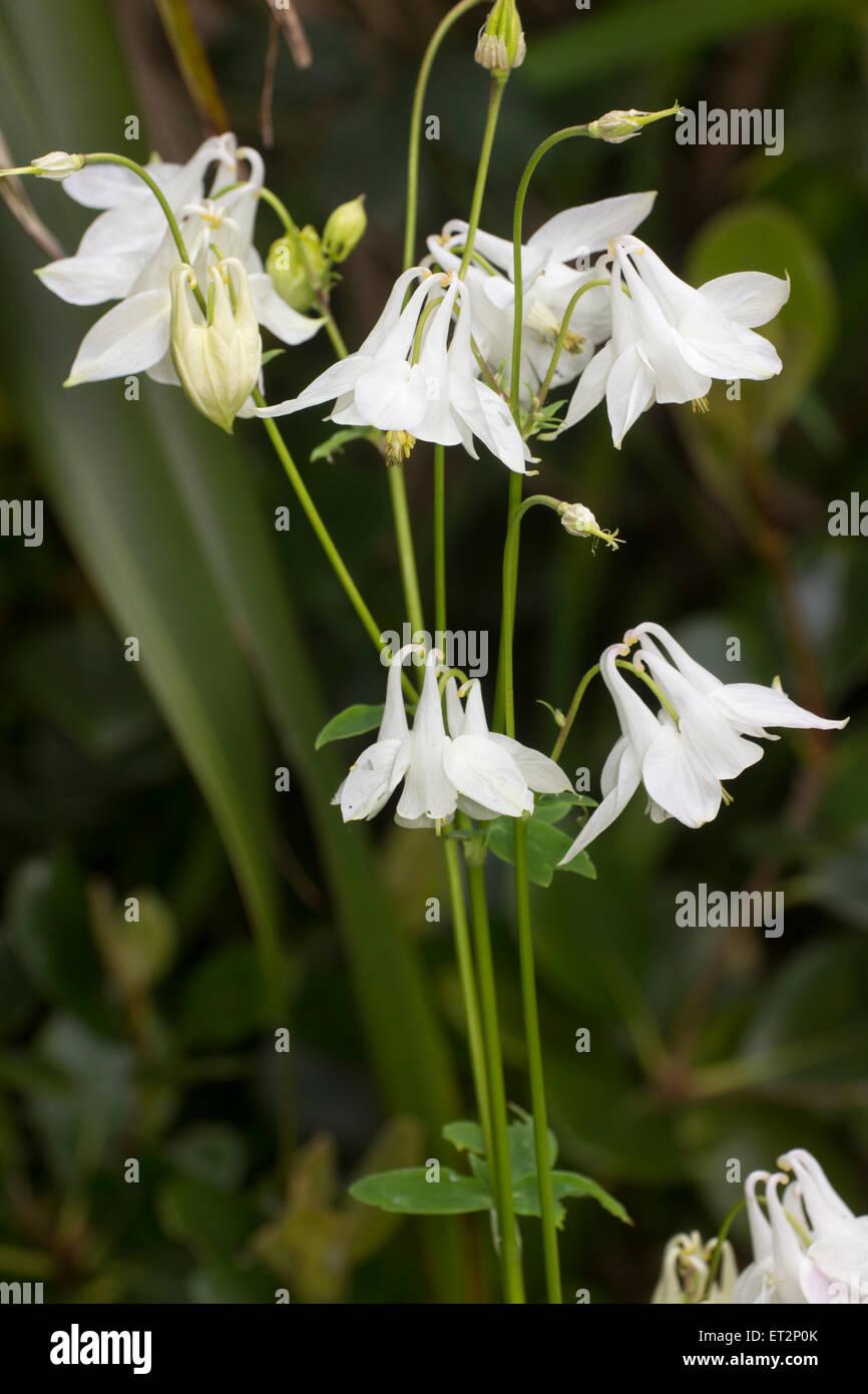 White form of the cottage garden favourite, Aquilegia vulgaris - Stock Image