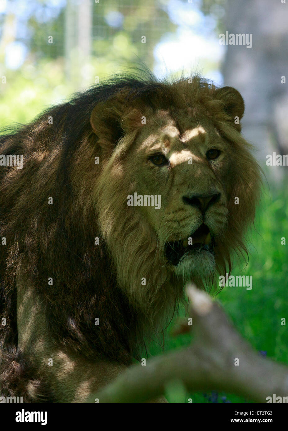 Edinburgh. UK. 11 June. The new female Asiatic lion, Roberta is introduced to Jay (male) in Edinburgh Zoo  Pako - Stock Image