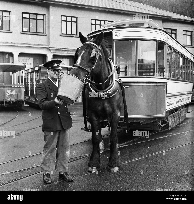 Douglas, Isle of Man. Betty 12, a dark Bay Irish Hackney (or Irish Cob) is one of the 75 horses to pull one of the - Stock Image