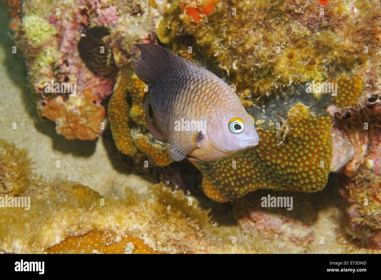 Caribbean reef fish underwater, Threespot damselfish, Stegastes planifrons Stock Photo