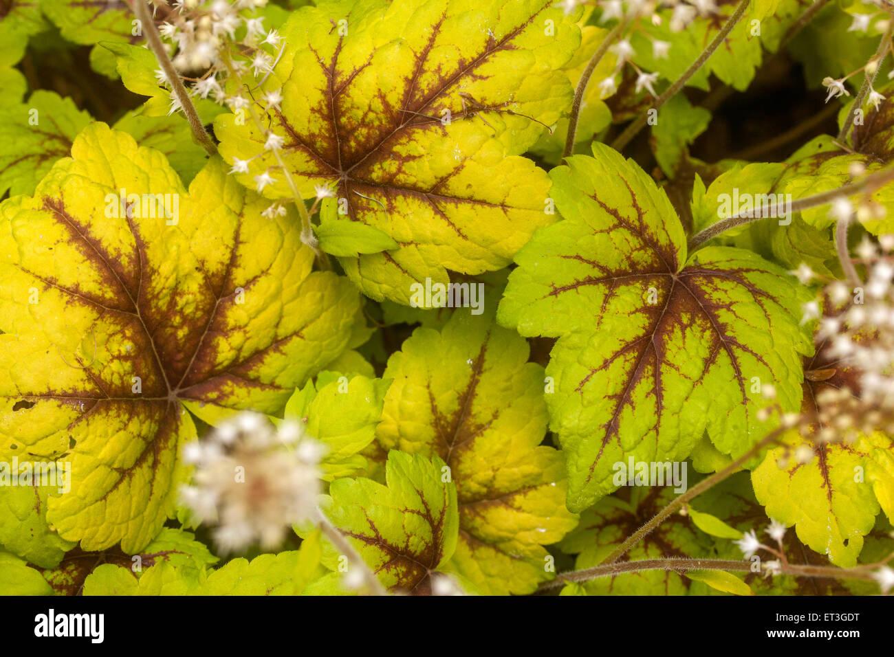 """Heucherella """"Stoplight"""" - Stock Image"""