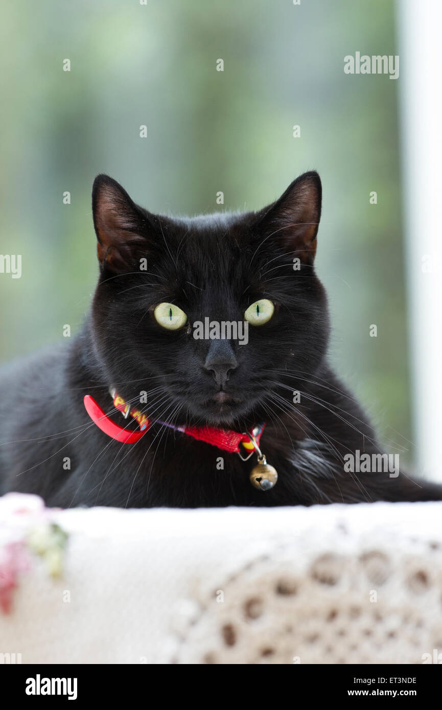 A black British Shorthaired cat. - Stock Image
