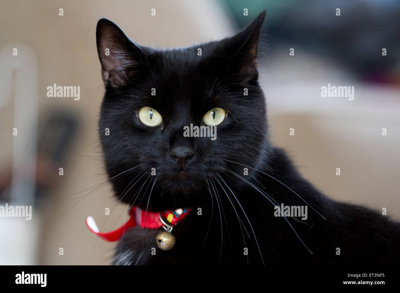 A black British Shorthaired cat - Stock Image