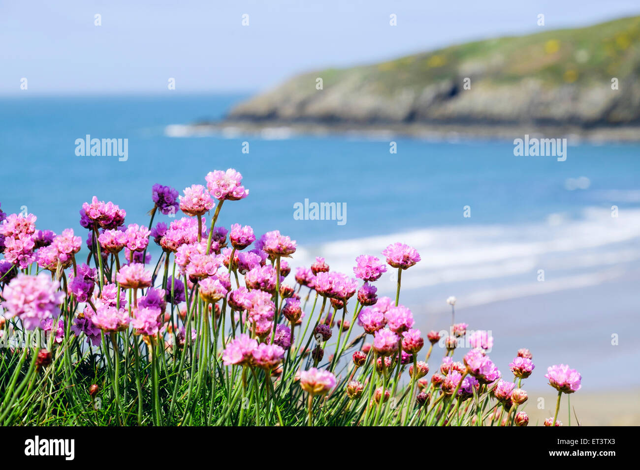 Sea pinks or thrift flowers growing beside anglesey coast path above sea pinks or thrift flowers growing beside anglesey coast path above beach with blue sea in early summer season church bay anglesey wales uk mightylinksfo