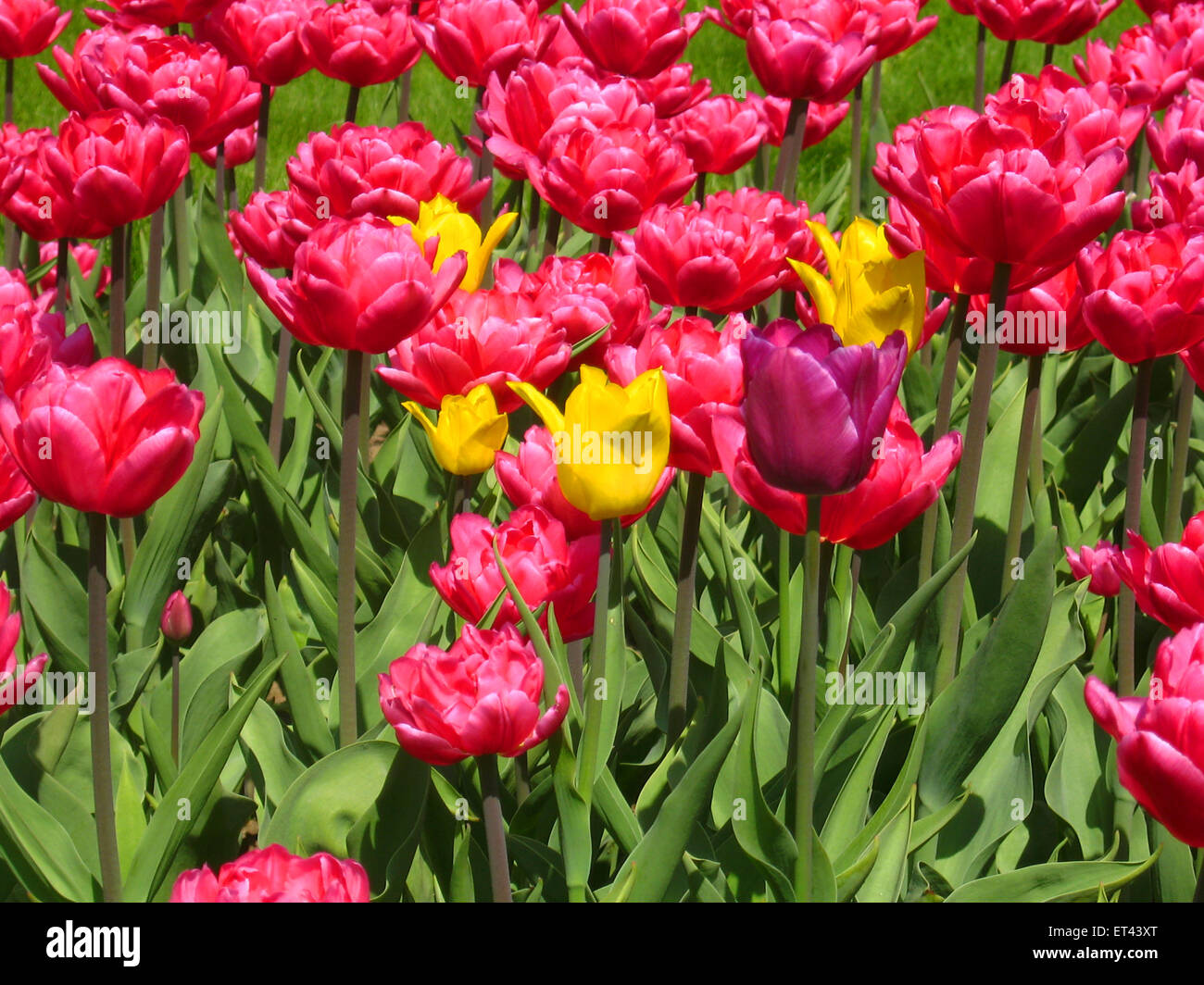 Flowerbed with many pink tulips, with few yellow ones, horizontal. Date of recording 30/04/2008. - Stock Image