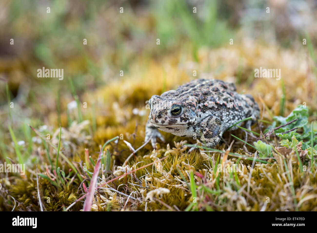 Yellow Stripe On Back Stock Photos Freddie The Frog Baby Shoes Gwen Stripes Natterjack Toad Epidalea Calamita Down Can Be Seen