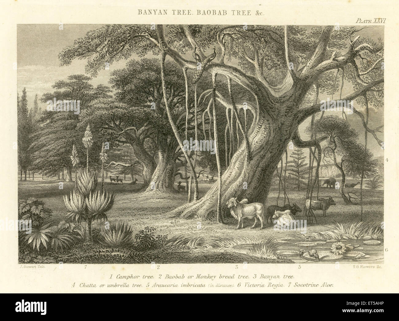 Lithographs Banyan Tree ; Baobab Tree & etc ; India - Stock Image