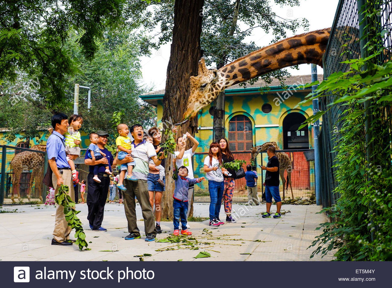 Feeding giraffes at Beijing Zoo - Stock Image