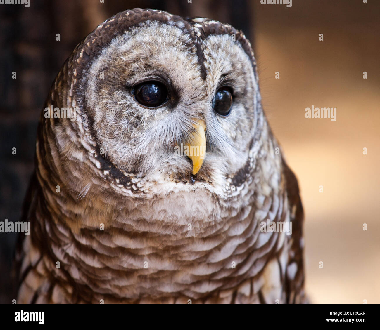 A portrait of a barred owl. - Stock Image