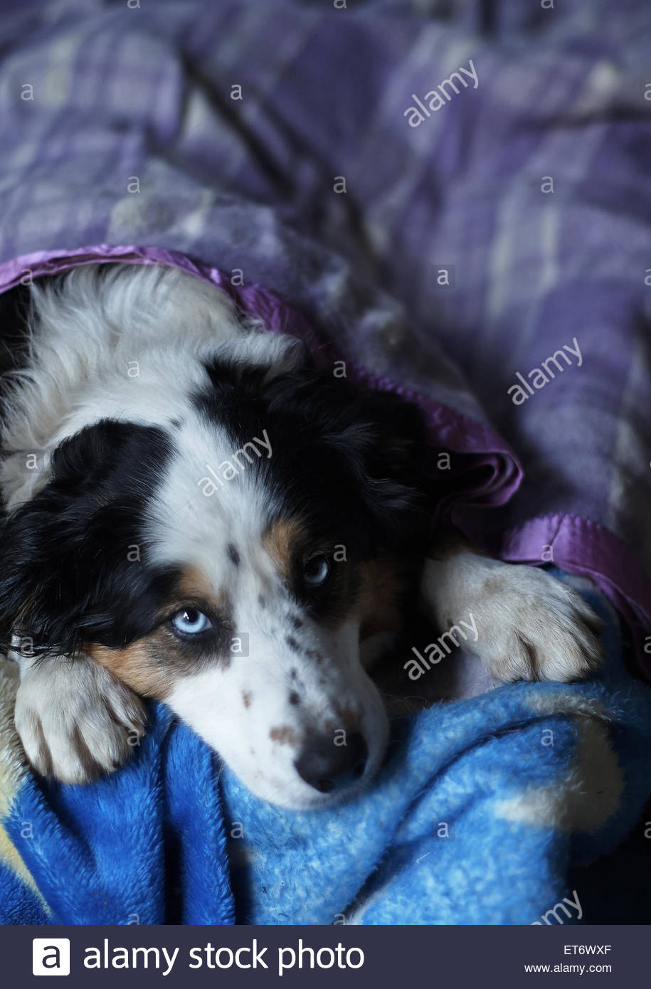 A blue-eyed tri-colour border collie lies with her head between her paws on a blue blanket; tucked in bed with a - Stock Image