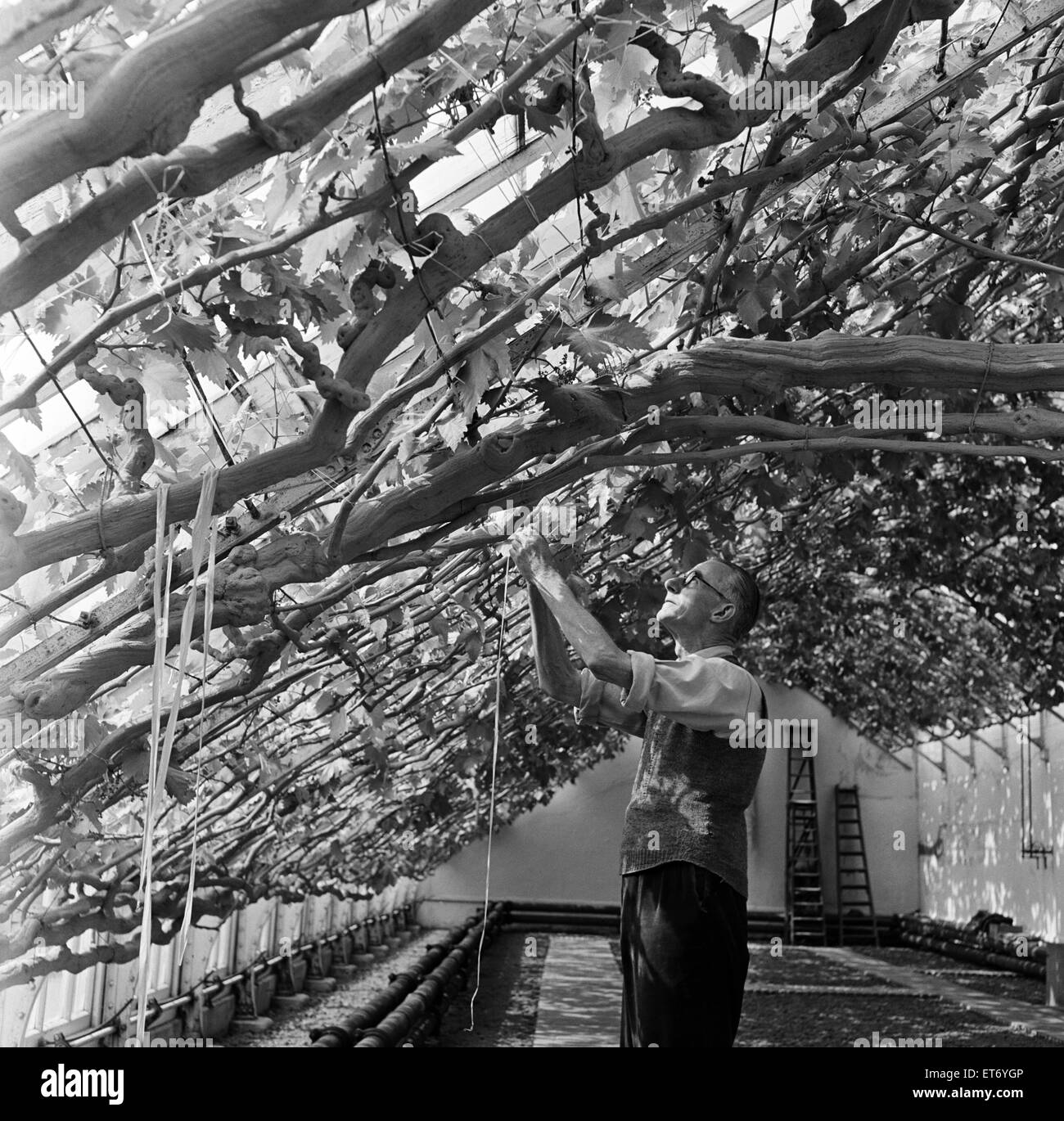 600 bunches of grapes are growing on the great vine at Hampton Court Palace, London (formerly Middlesex). This historic - Stock Image