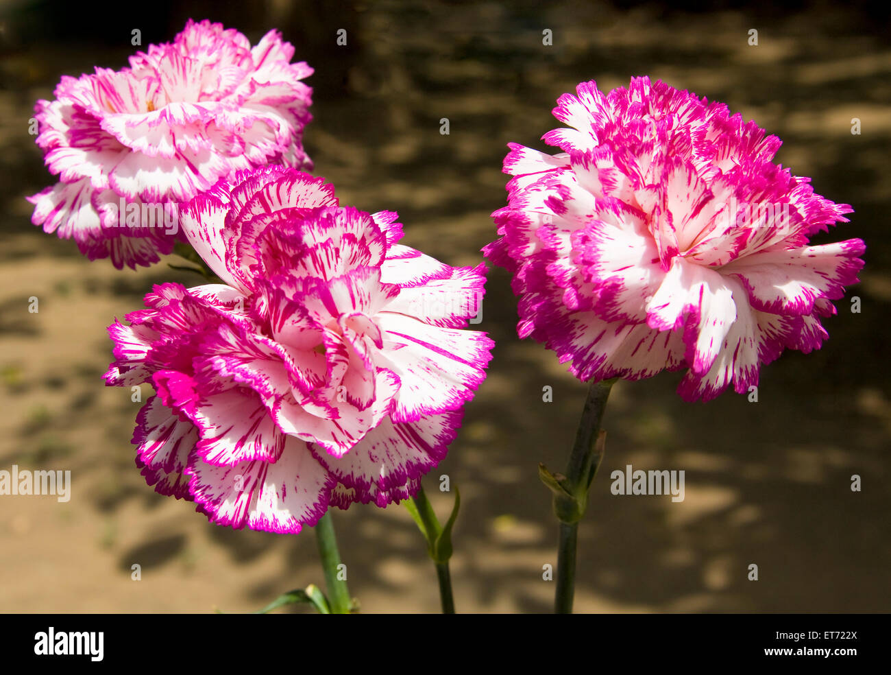 Three Big Flowers Garden Carnation Of White And Pink Mixed Coloures