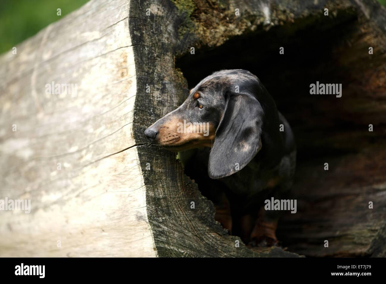 Kurzhaardackel, Kurzhaar-Dackel, Kurzhaarteckel, Kurzhaar-Teckel, Teckel, Dachshund (Canis lupus f. familiaris), Stock Photo