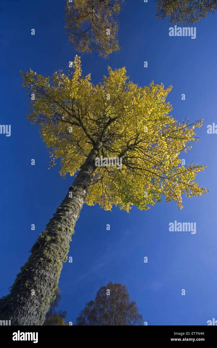 Espe, Zitterpappel, Zitter-Pappel (Populus tremula), Blick von unten den Stamm hinauf in die Baumkrone, Grossbritannien, Stock Photo