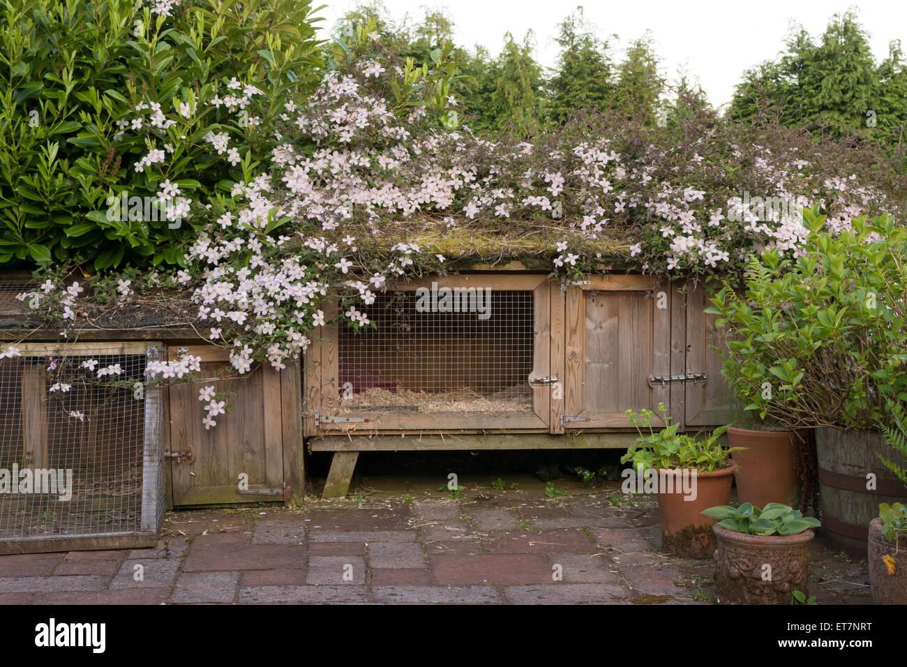 Clematis montana rubens blending a large rabbit hutch more sympathetically into the garden - Stock Image