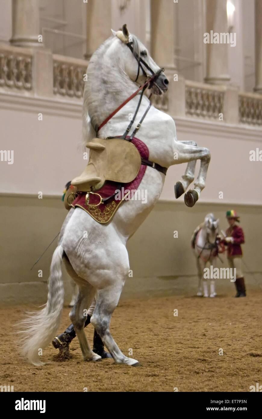Lippizaner Equus Przewalskii F Caballus In Der