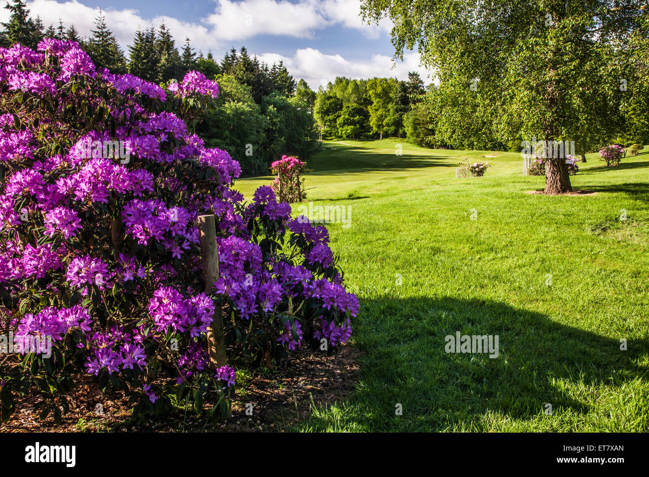 Purple rhododendron on the golf course on the Bowood estate in Wiltshire. - Stock Image
