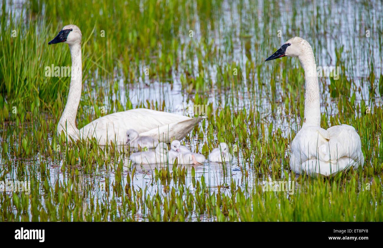Adult north americaTrumpeter Swans and  New Born Cygnets, Swan Lake, Island Park, Idaho, USA - Stock Image