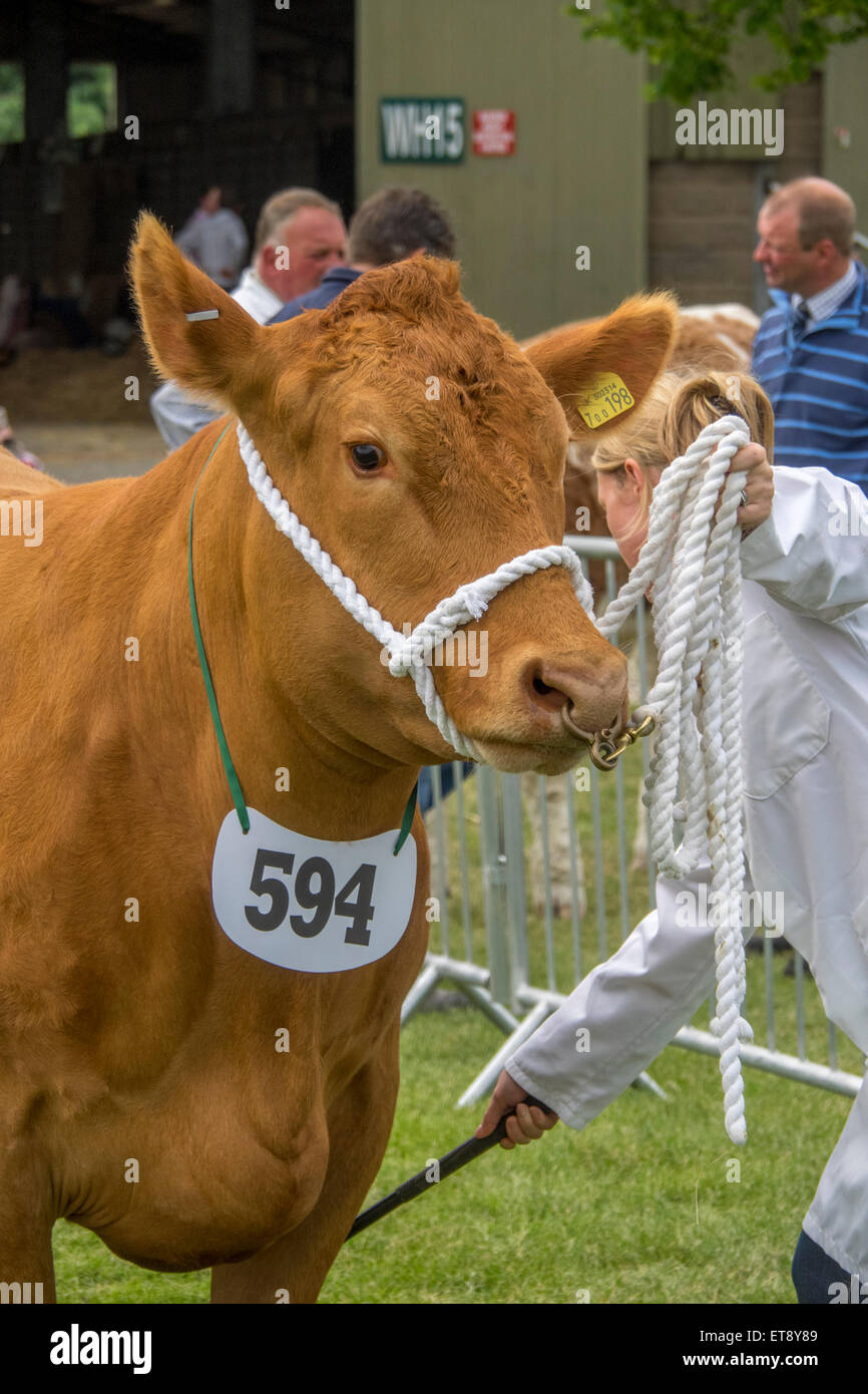 Malvern, Worcestershire, UK. Friday 12th June 2015.  Devon cattle at the Royal Three Counties Show Credit:  Ian - Stock Image