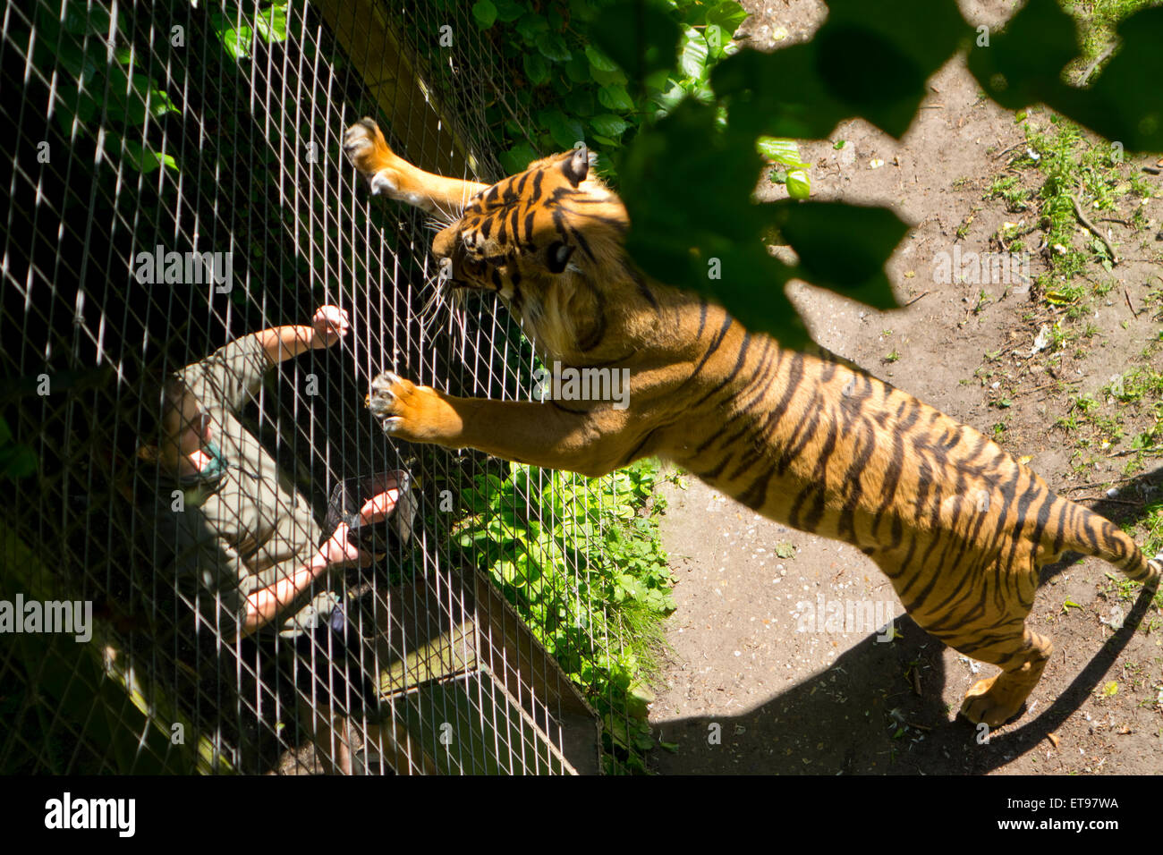 Captive tiger hand feed zoo keeper feeding time cage - Stock Image