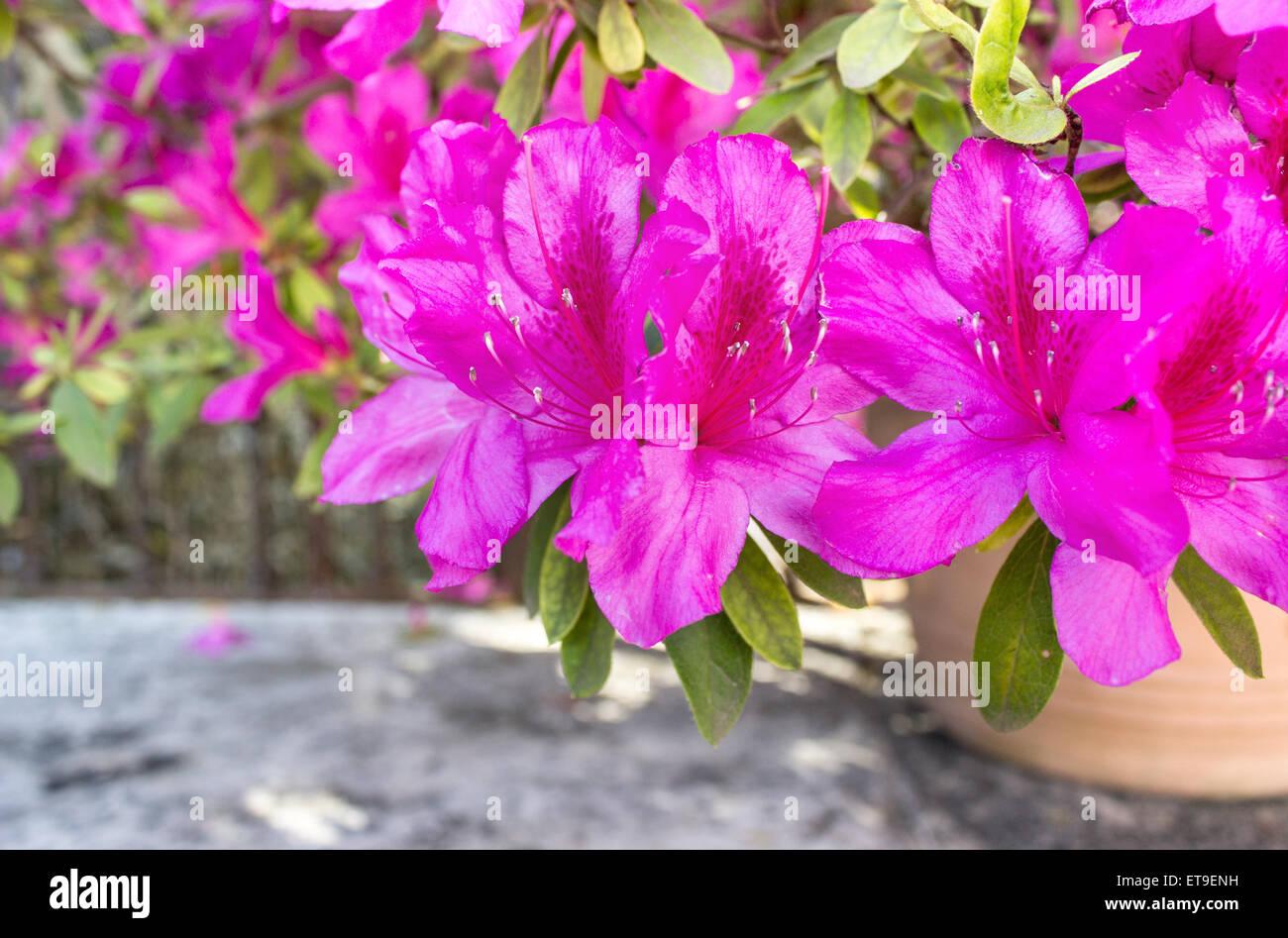 Pink azaleas flowers in a flower pot stock photo 83802365 alamy pink azaleas flowers in a flower pot mightylinksfo