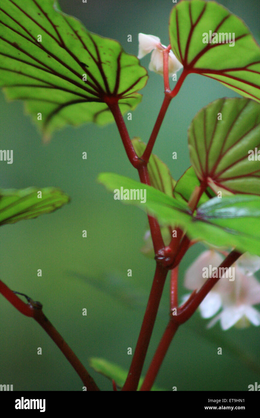 Pink Flower With Green Leaves And Red Veins Stock Photo 83804701