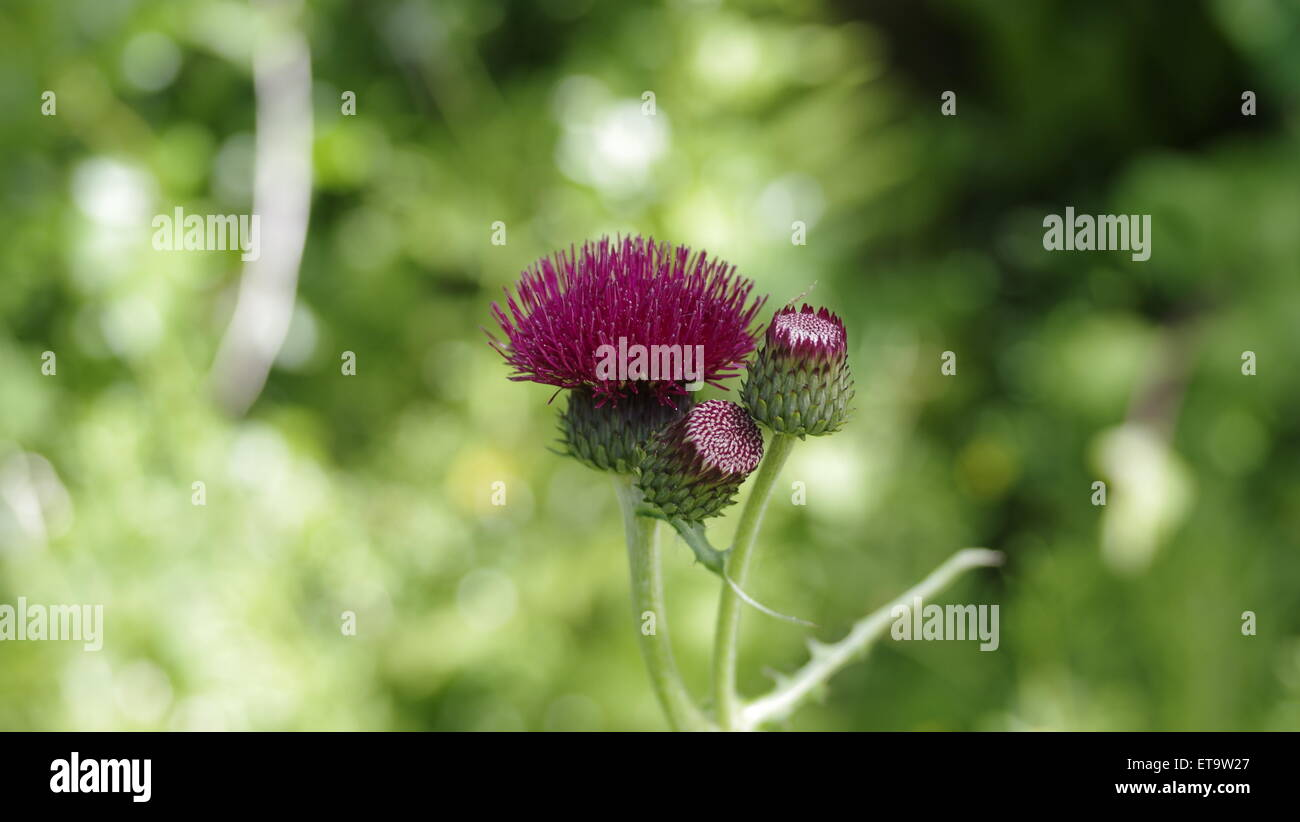 Beautiful Brook or Plume Thistle Flower UK Garden - Stock Image
