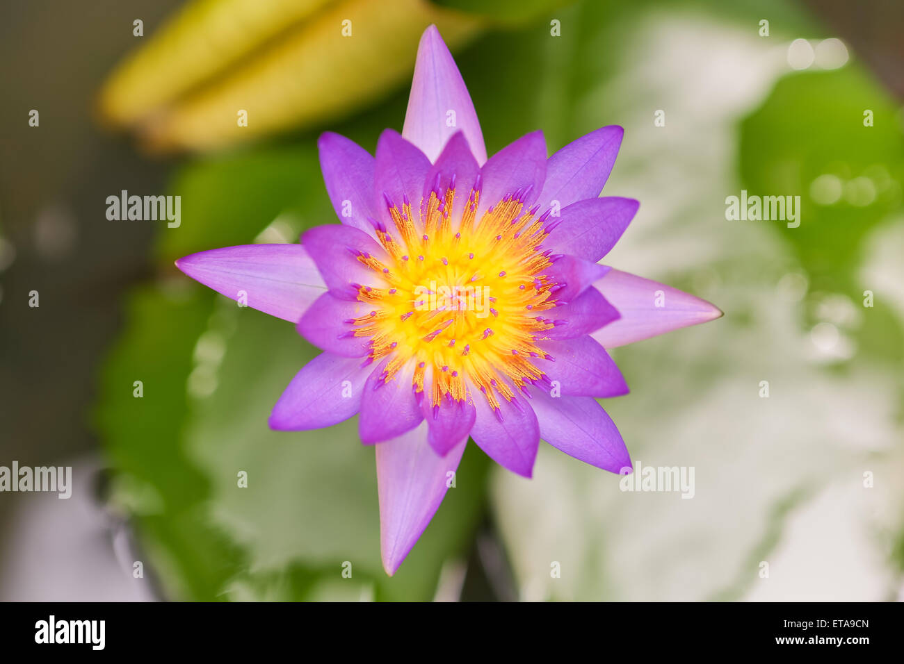 Close Up Asian Lotus Flower In Water Stock Photo 83820149 Alamy