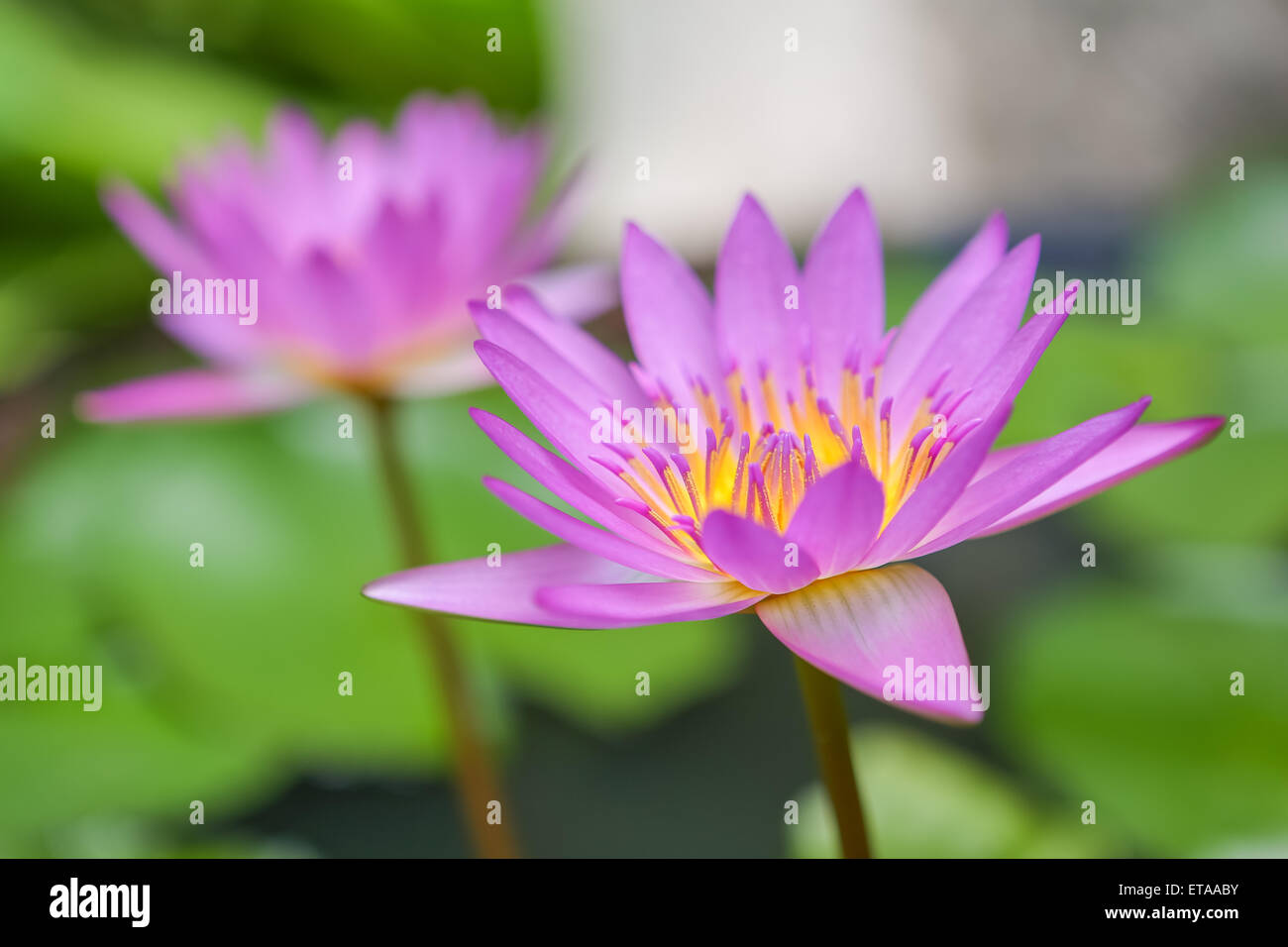 Close Up Asian Lotus Flower In Water Stock Photo 83820911 Alamy