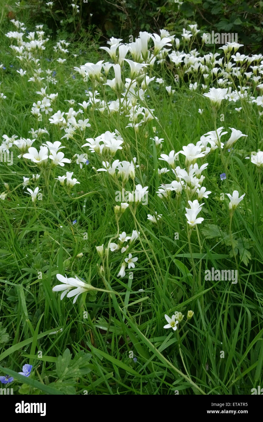 Meadow saxifrage, Saxifraga granulata, white flowering plants in well grazed grassland, Berkshire, June - Stock Image