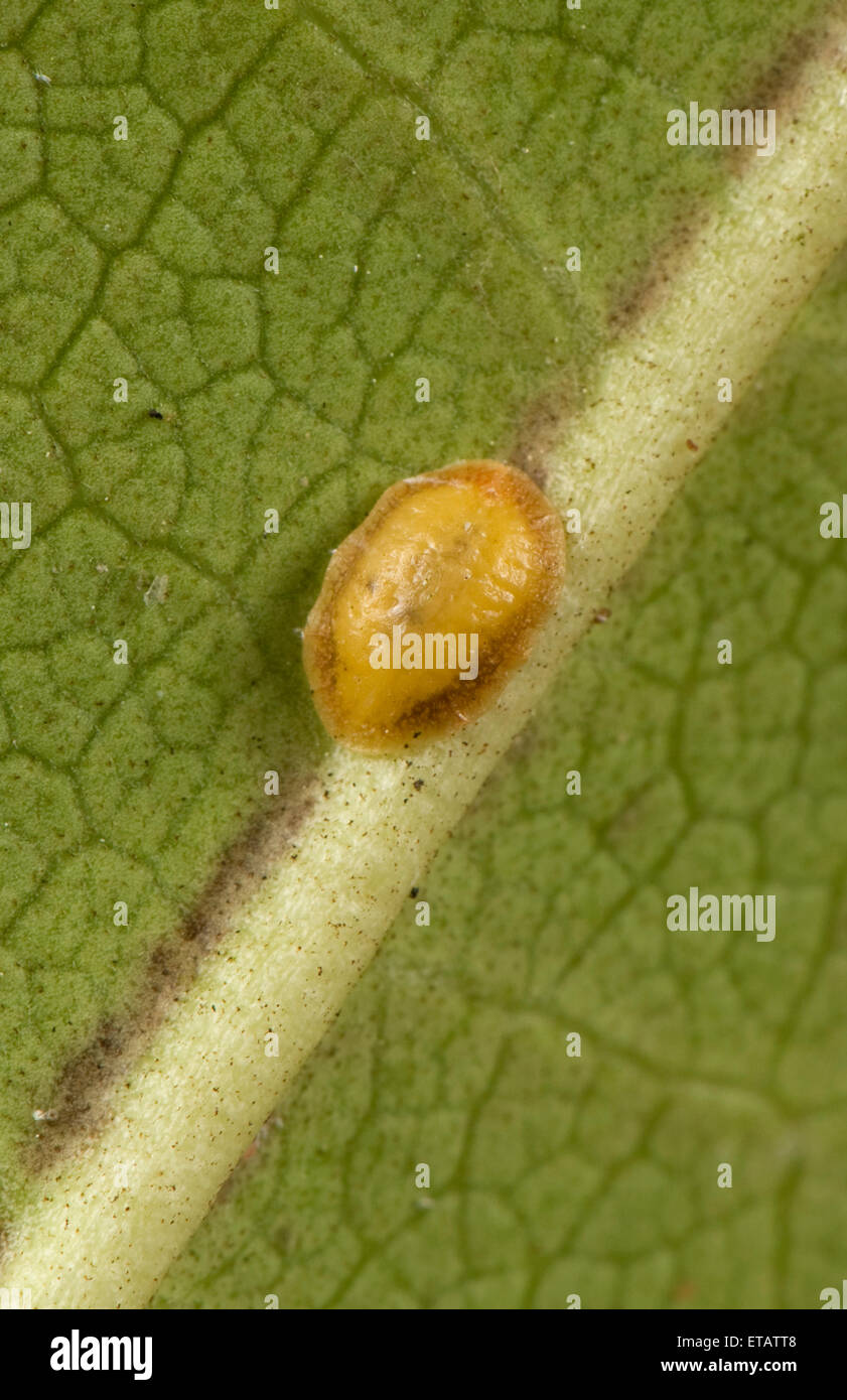 Cushion scale insect, Pulvinaria floccifera, on the underside of an ornamental garden Rhododendron leaf - Stock Image