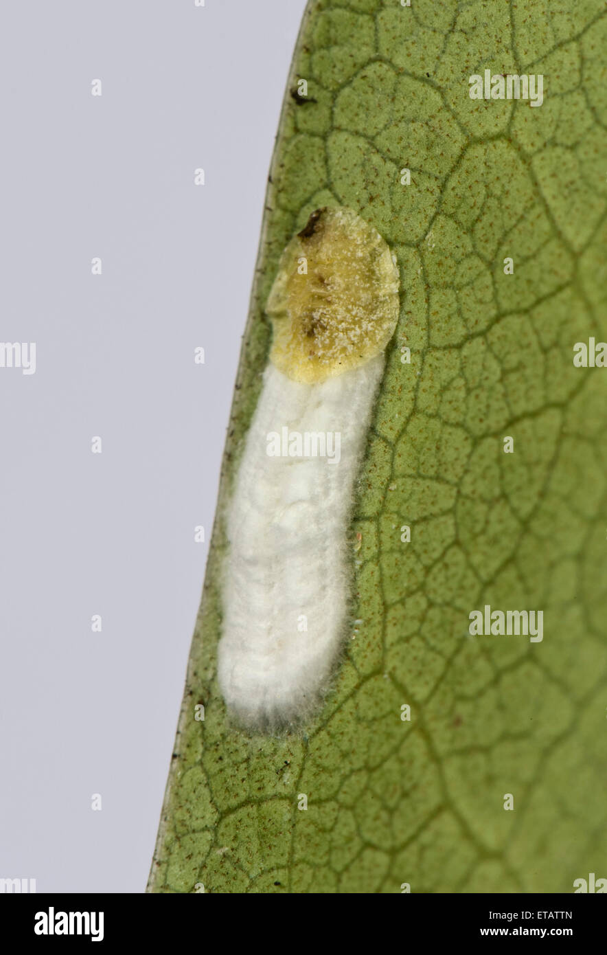 Cushion scale insect, Pulvinaria floccifera, laying eggs on the underside of an ornamental garden Rhododendron leaf - Stock Image