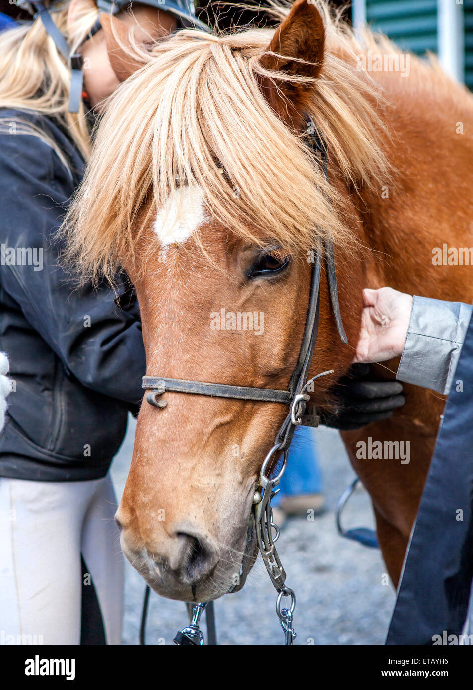 Icelandic Horse head with horsewoman in the back - Stock Image