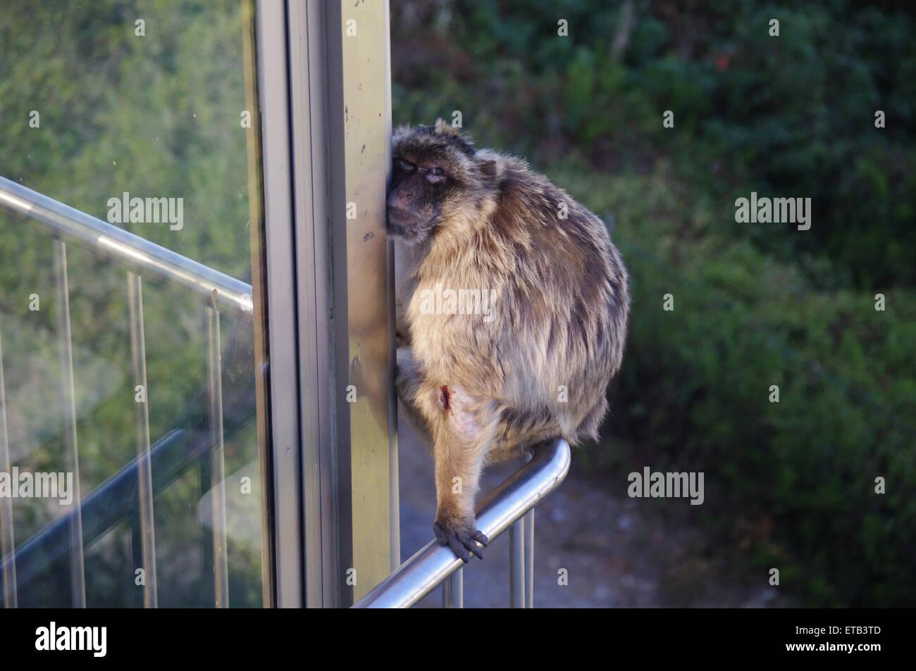 Barbary Ape Winking handrail - Stock Image