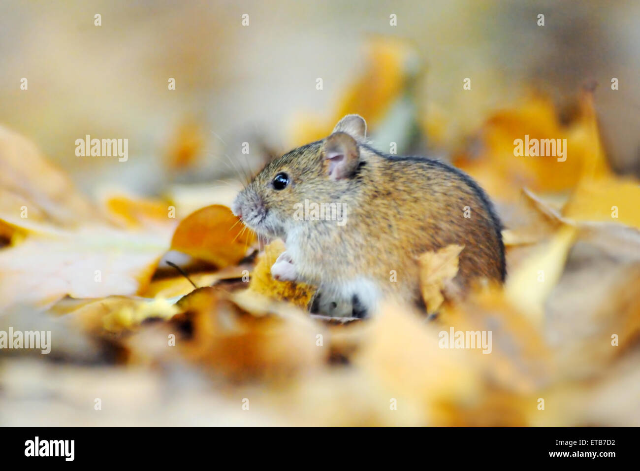 Striped Field Mouse (Apodemus agrarius) among bright yellow dry leaves - Stock Image