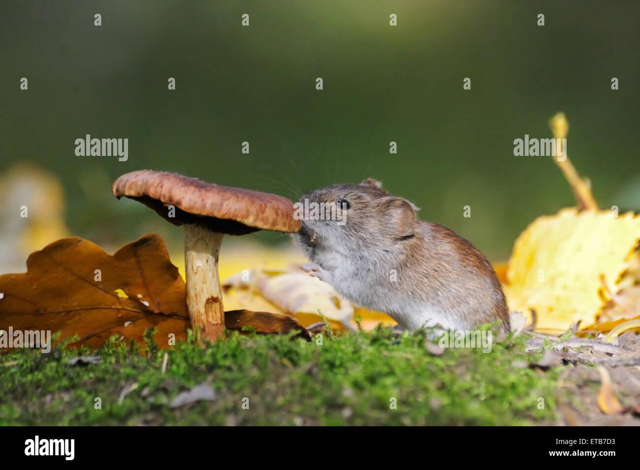 Wood mouse eats mushroom - Stock Image