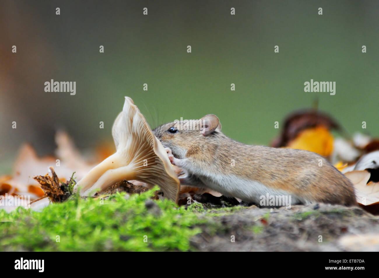 Striped Field Mouse (Apodemus agrarius) eats mushroom - Stock Image