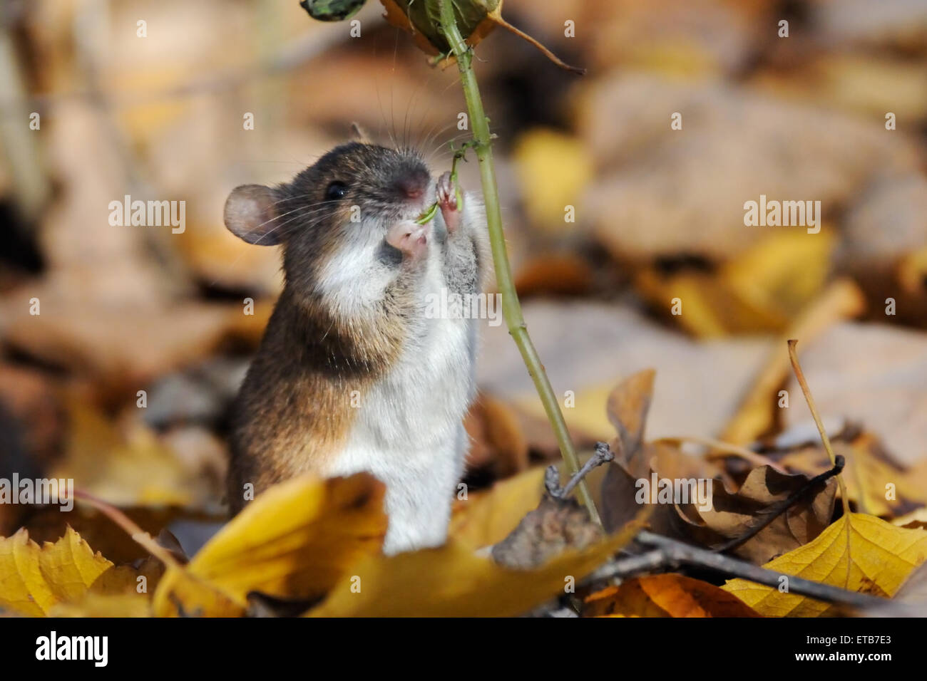 Striped Field Mouse eats Touch-me-not plant seeds - Stock Image